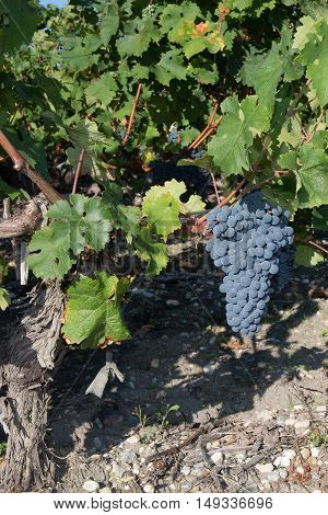 Red Grapes On The Vine. Vine Grape Fruit Plants Outdoors