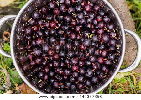 Black Gooseberries freshly picked from the bush in a stainless steel colander. Summer fruit harvest. Over head close up.