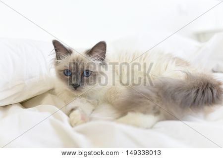 Closeup of Sacr�½ de Birmanie cat, relaxing on bed