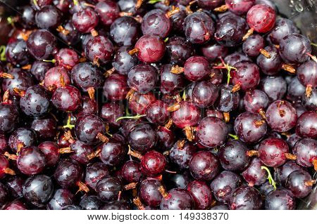 Black Gooseberries freshly picked from the bush. Summer fruit harvest. Close up.