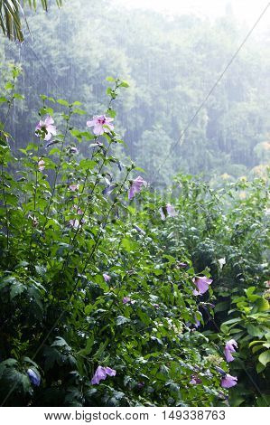 Scrub hibiscus and other southern greens during the summer rain