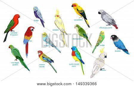 big set parrots vector illustration, wildlife, big set birds vector
