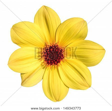 Yellow dahlia flower isolated on white background.