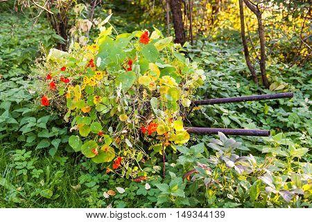 flowerbed with nasturtium (Tropaeolum) flowers on wheelbarrow in garden illuminated by evening autumn sunlight