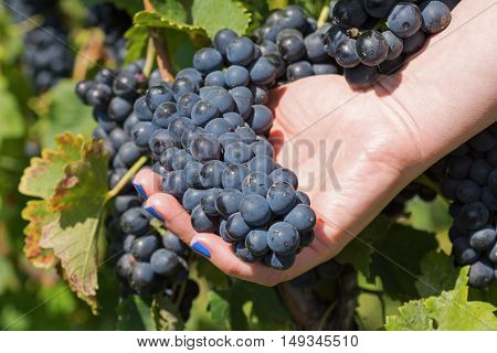 Hand Holding Fresh Red Bunch Of Grapes In The Vineyard. Vineyards At In Autumn Harvest.