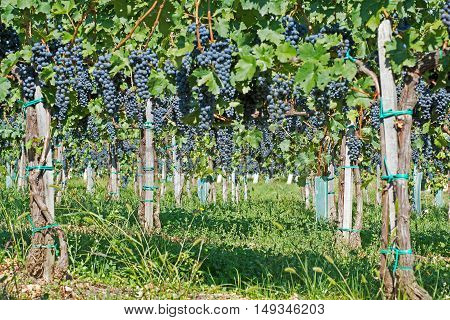Organic Grapes In Fall. Ripe Grapes Hang From A Vine. Vineyards At Sunset In Autumn Harvest.