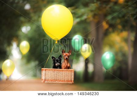 Flying dog on the balloon in the basket . Little pet on the nature in the park Summer time. Festive walk. Celebration.