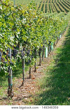 Vineyards On A Sunny Day In Autumn Harvest. Landscape With Organic Grapes On Vine Branches. Ripe Gra
