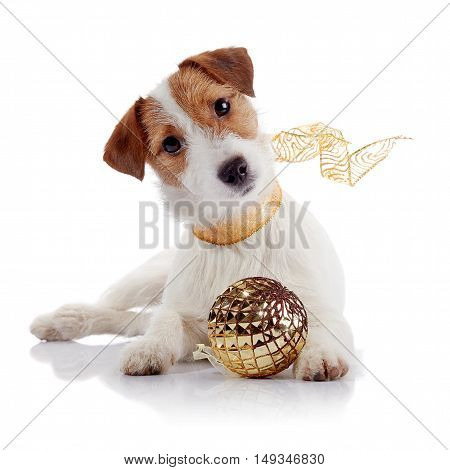 The small doggie of breed a Jack Russell Terrier and Christmas ball
