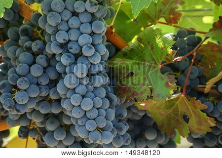 Close up of Napa Cabernet Sauvignon grapes and autumn leaves. Bunches of ripe red Napa Valley grapes hanging on vine ready for harvest.