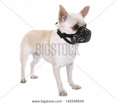 white chihuahua and muzzle in front of white background