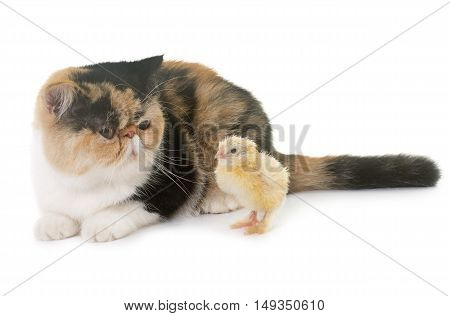 tricolor exotic shorthair cat and chick in front of white background