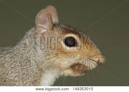Close-up of a Gray Squirrel (sciurus carolinensis) with a green background