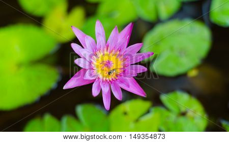 Pink lotus blossoms or water lily flowers blooming on pond,Pink lotus,Pink flower