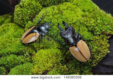 Stag Beetle (odontolabis Mouhoti ) Male And Femal