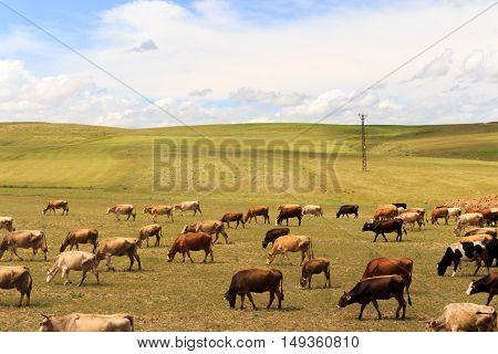 Walking Outdoors Cattle Herd. A Beautiful View.