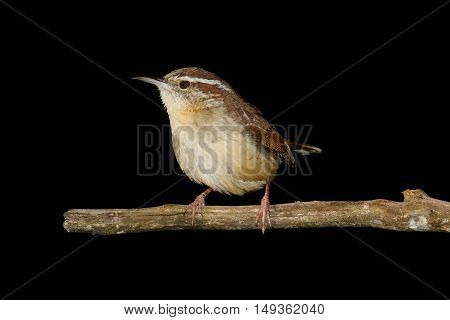 Carolina Wren (Thryothorus ludovicianus) on a branch with a black background