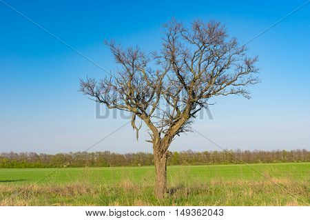 Lonely acacia tree against blue cloudless sky at early spring season in Ukraine