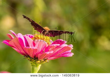 Butterfly Sits On Pink Bloom And Looks Into Camera