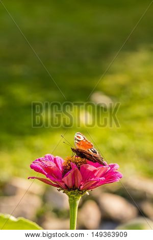 Color Butterfly Sits On Pink Bloom