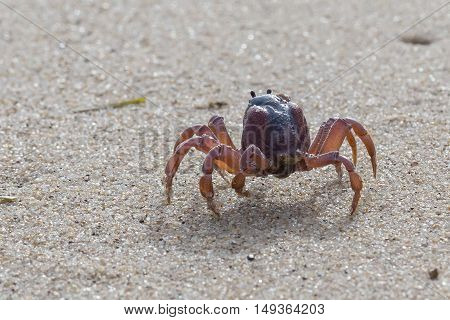 Soldier crabs (Mictyris longicarpus) are small creatures that live on sandy beaches. During low tide, they march in large numbers to raid the sandy area for nutrients. They then disappear by digging themselves in, awaiting the next tide.