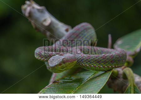 Close Up Pitviper Snake