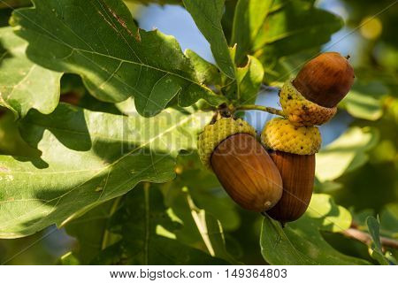 Three Brown Acorns On Autumn Oak Tree