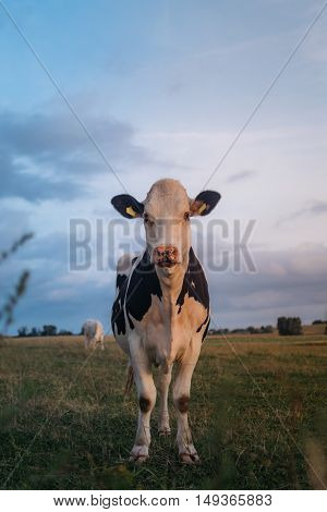 Beautiful portrait of a cow standing in the field during the sunset in a polish village