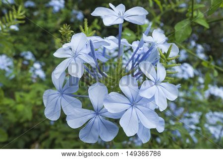 A group of flowers of colour blue in a garden.