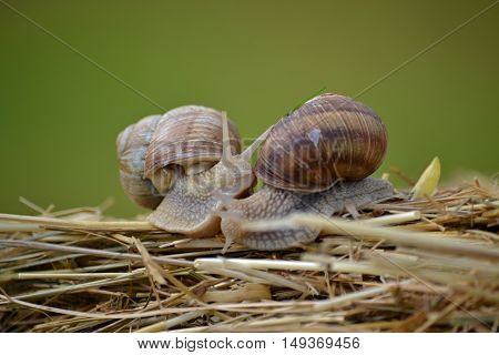 two  snails crawling over straw after the rain