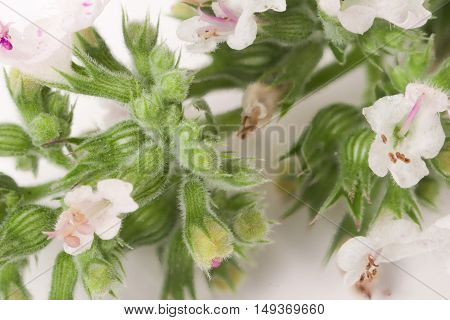 blooming sprig of lemon balm isolated on white background.