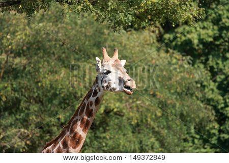 Giraffe close up.