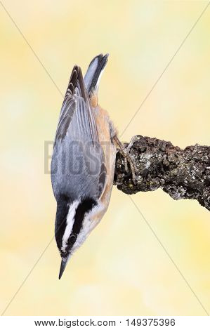 Red-breasted Nuthatch (sitta canadensis) on a branch with a yellow background