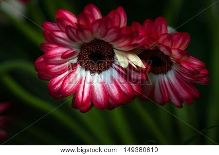 Portrait of a gerbera flowers. Macro photography of nature.