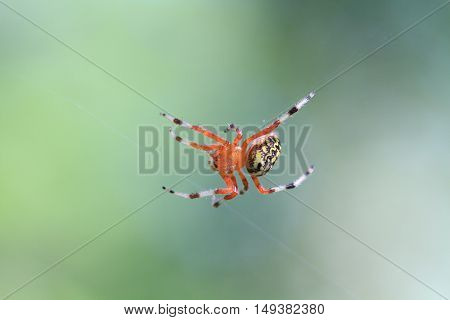 Marbled Orb Weaver Spider female in early fall