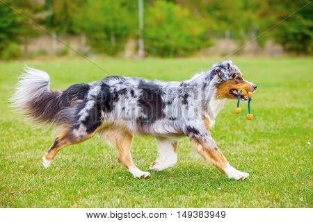 Dog With A Toy Walks On The Meadow