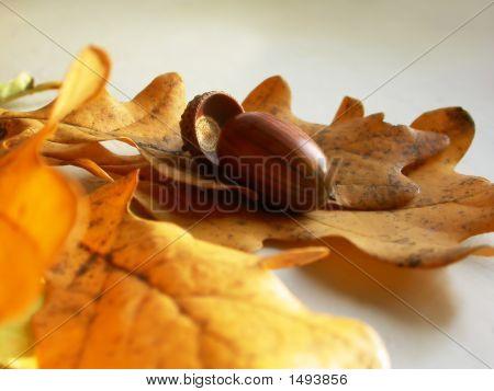 Acorn On A Oaken Leaves