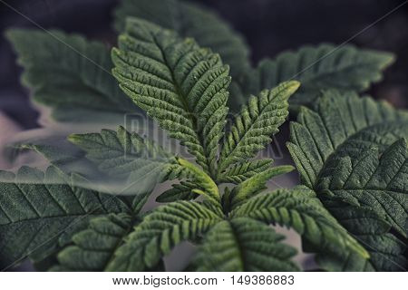 Cannabis plant leaf detail growing indoors with smoke in the background