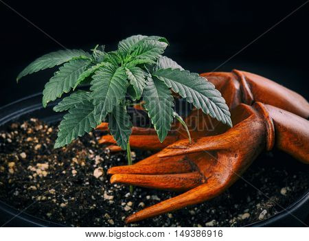 Small marijuana (cannabis) plant growing in a pot with wooden hands