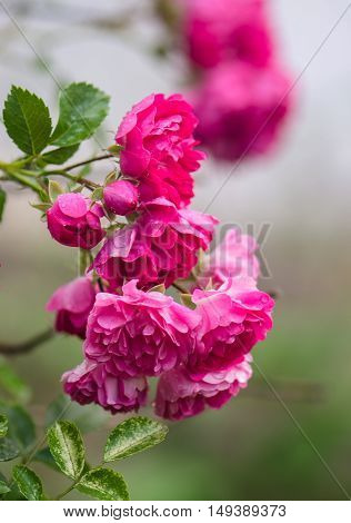 a climbing branch blooming pink rose with green leaves on a blurred gray background
