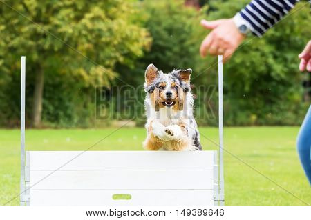 Dog With A Toy Jumps Over An Obstacle