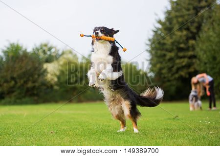 Australian Shepherd Dog Jumping For A Toy
