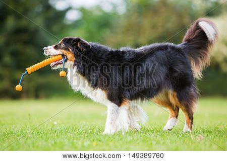 Australian Shepherd Dog With A Toy