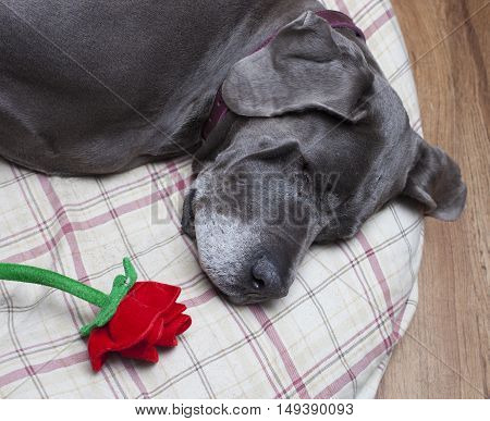 Purebred Great Dane laying on a pillow that has a rose on it