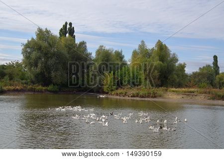 Flock of geese floating on the lake