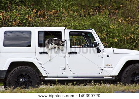 Stanley Park, Vancouver, BC - April 21, 2015 - Husky type dog hanging out of the window of a white Jeep on a bright day in Stanley park.