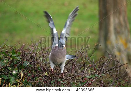 Wood pigeon (Columba palumbus) on top of a hedge and just about to take off. Primary feathers of wings blurred. Tree and grass defocussed in the background.