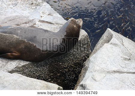 This is an image of a wild sea lion sleeping on rocks along the coast of Monterey Bay, California.