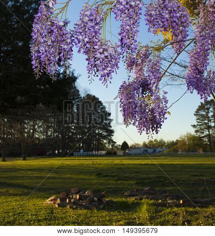 Just before dusk the color coming out in purple wisteria flowers