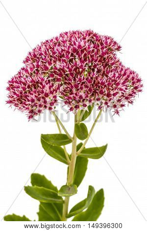 Inflorescence of flowers stonecrop close-up lat. Sedum spectabile isolated on white background